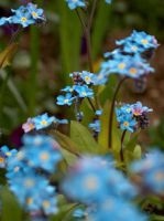 Blue Posies by fake-sincerity
