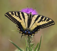 Swallowtail butterfly by finhead4ever