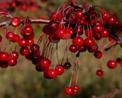 fall berries 1 by heelandtoe