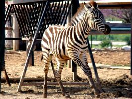 Galloping young zebra by AmmarkoV1