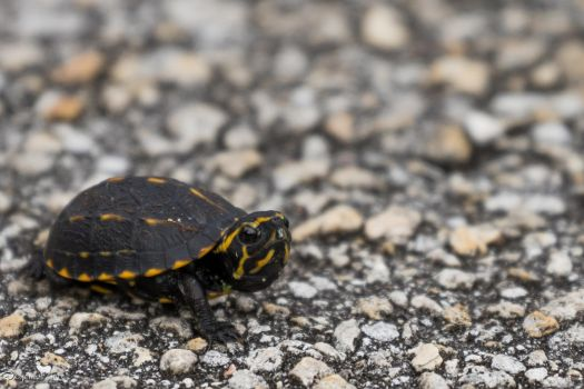 Baby yellow-bellied slider turtle by CyclicalCore