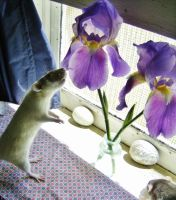 Rats and Irises by InkyDreamz