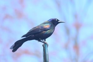 Grackle by paws720