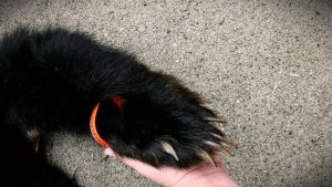 Black bear paw close up. by psychische