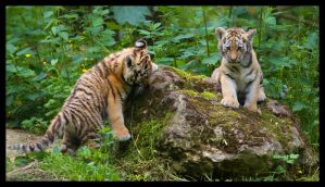 Siberian Tiger Cubs by Wolfy2k4