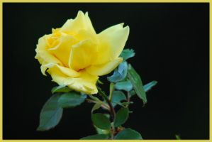 Yellow Rose by NagWolf