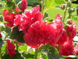 Happy Hollyhocks in Red by foreverartme