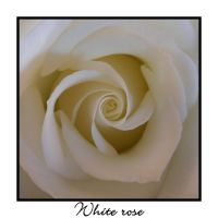 White Rose by yukoshiro