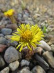Coltsfoot in Gravel by musicalcat