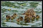 Mom and Ducklings by ernieleo