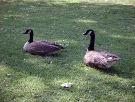 Geese in the Park by AiSac
