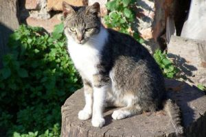 Brownish white cat by black-cat16-stock
