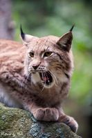 Lynx11 by PictureByPali