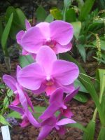 lilac orchid 3 by ingeline-art