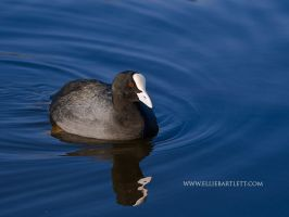 Coot by ERB20