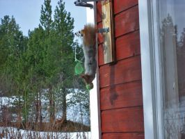 Up-side-down squirrel by afoxen