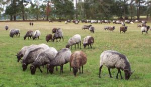 Heathland Sheep Stock by ValerianaSTOCK