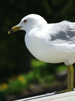 Seagull by morganforrester