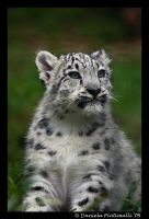 Baby Snow Leopard Portrait II by TVD-Photography