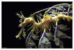 Leafy Sea Dragon by ewm