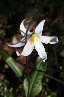 White Fawn Lily2 by owlbird