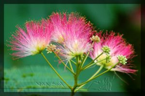 Persian Silk Tree by Wild-Soul