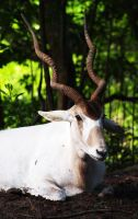 White Antelope by ShutterSerpent