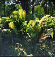ferns .. by iliushka