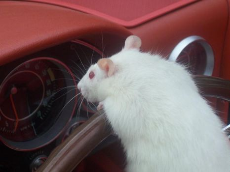 Rodents on the Road by Wolbachia