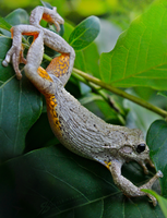 Peron Tree Frog. by Zaellrin