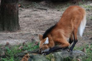 Maned Wolf 7 by keaworks