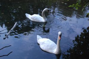Stock 432 - Swans by pink-stock