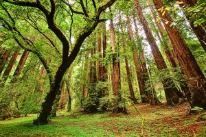 Muir Woods by Arai-Foto