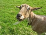 Henry the Goat 07 by eldris-stock