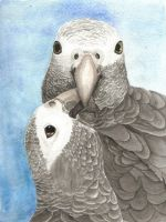 Grey parrots by greencheek