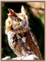 eastern screech owl by bydandphotography