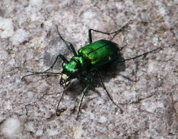 Six-spotted green tiger beetle by ShadeeWolf