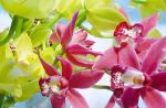 orchid by pralin85