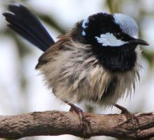 Young Blue Superb Fairy-Wren by LESHA