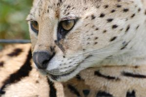Serval 1 by filemanager