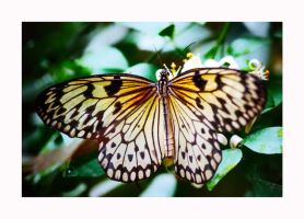 Butterfly 7 by calimer00