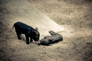 Never Leave a Pig Behind. by Laiven2150