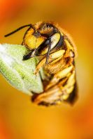 Wool Carder Bee Series 2-2 by dalantech