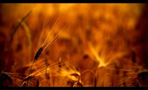 Cornfield by ChromaticBokeh