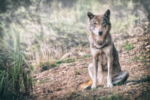 Lone Wolf by GJ-Vernon