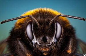 Bumblebee portrait by andreimogan