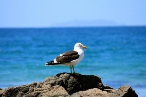 Lone Gull by Applemac12
