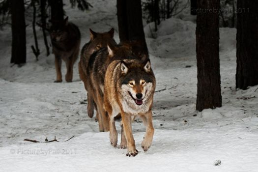 Wolf pack on the Move by PictureByPali
