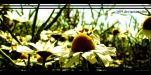 __chamomile__ by G09