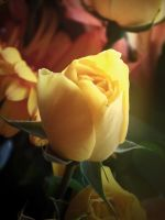 Yellow Roses IV by RedRoseBudBlooming